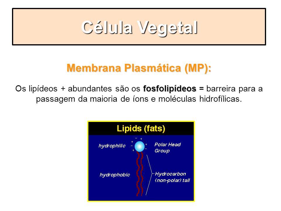 Membrana Plasmática (MP): fosfolipídeos Os lipídeos + abundantes são os fosfolipídeos = barreira para a passagem da maioria de íons e moléculas hidrof