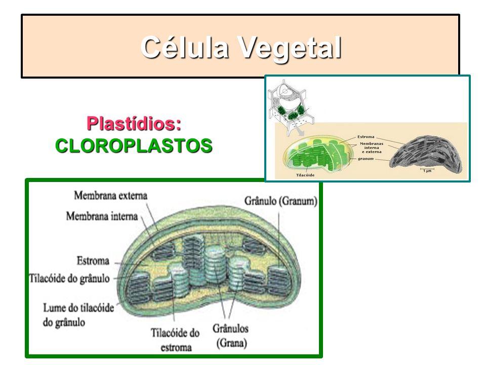 Plastídios: CLOROPLASTOS Célula Vegetal