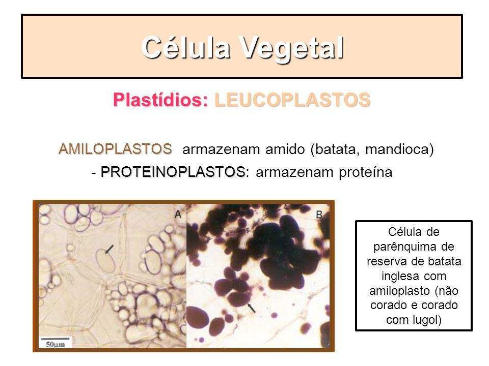 Plastídios: LEUCOPLASTOS sem pigmentos, mas que armazenam substâncias. AMILOPLASTOS - AMILOPLASTOS: armazenam amido (batata, mandioca) PROTEINOPLASTOS