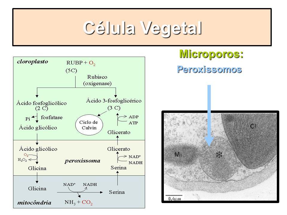 Microporos: Microporos: Peroxissomos Peroxissomos Célula Vegetal FOTORRESPIRAÇÃO