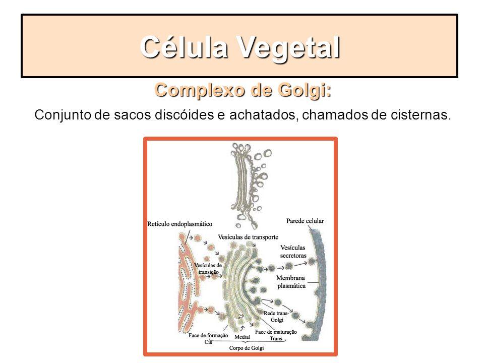 Complexo de Golgi: Conjunto de sacos discóides e achatados, chamados de cisternas. Célula Vegetal