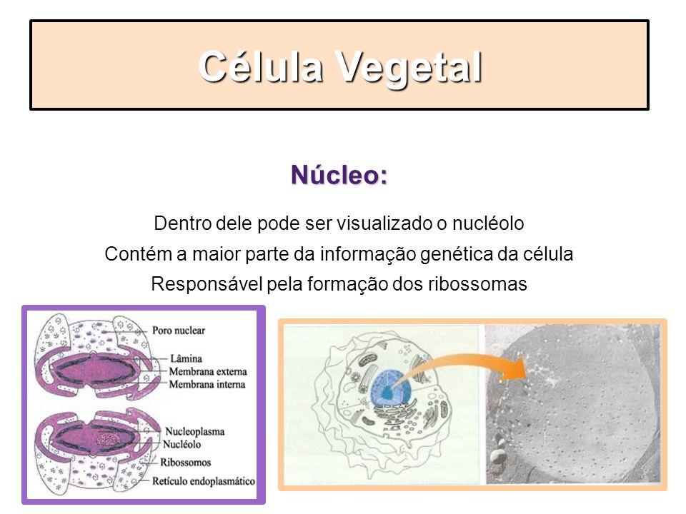 Núcleo: Dentro dele pode ser visualizado o nucléolo Contém a maior parte da informação genética da célula Responsável pela formação dos ribossomas Cél