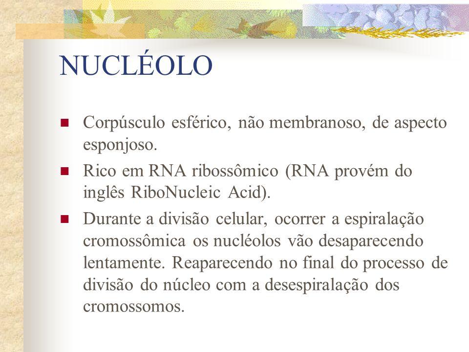 NUCLÉOLO Corpúsculo esférico, não membranoso, de aspecto esponjoso. Rico em RNA ribossômico (RNA provém do inglês RiboNucleic Acid). Durante a divisão