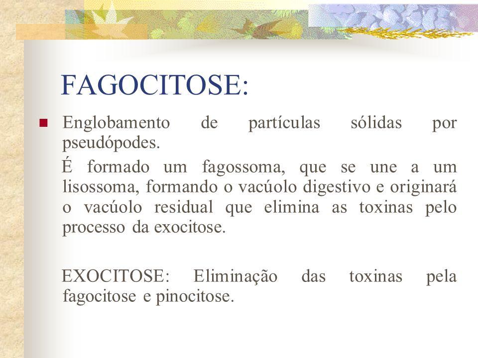 FAGOCITOSE: Englobamento de partículas sólidas por pseudópodes. É formado um fagossoma, que se une a um lisossoma, formando o vacúolo digestivo e orig