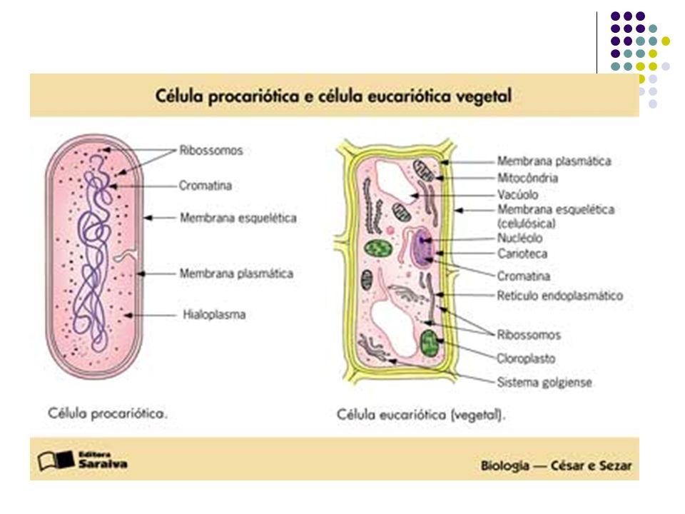 Parede celulósica A parede celular é uma estrutura incolor, elástica, brilhante, rígida o que diminui a possibilidade de modificação na forma da célul