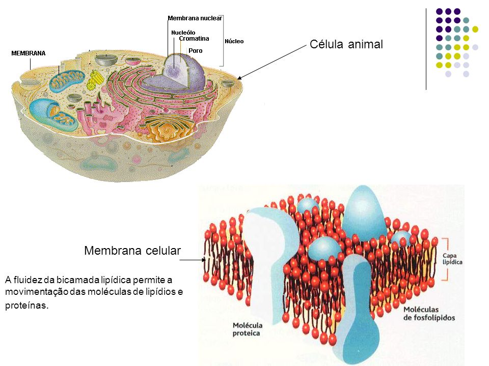 Envoltórios Celulares Membrana Membrana plasmática- encontrada em todas as células. A membrana celular é semelhante em todos os organismo. Parede Celu