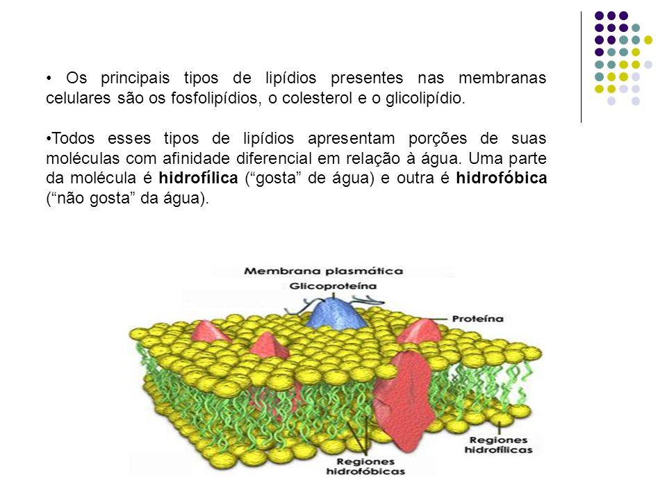 5- CÍLIOS E FLAGELOS São formações que apresentam na superfície de certas células de invertebrados, de protistas e de organismos superiores, proveniente do alongamento de nove fibrilas ou microtúbulos de centríolo.