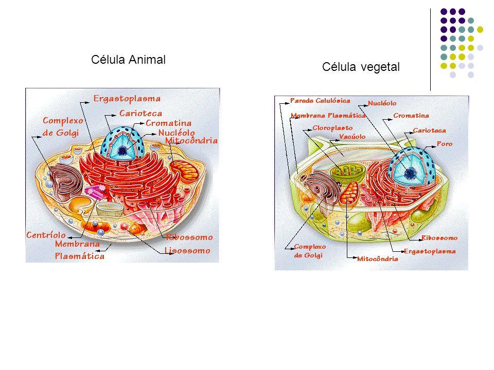 Célula Animal Célula vegetal