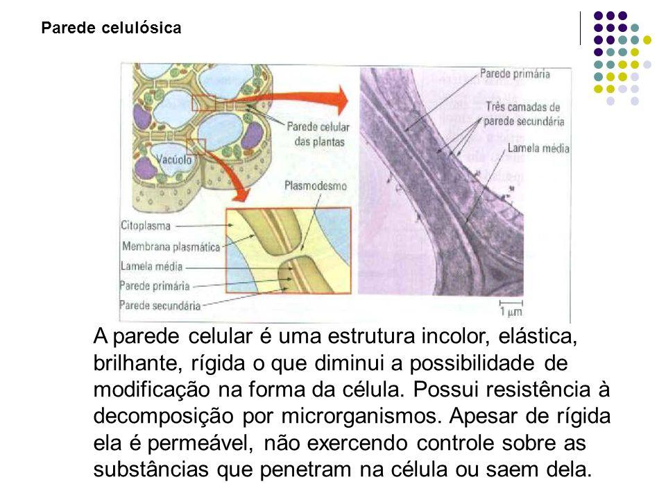 Parede celulósica A parede celular é uma estrutura incolor, elástica, brilhante, rígida o que diminui a possibilidade de modificação na forma da célula.