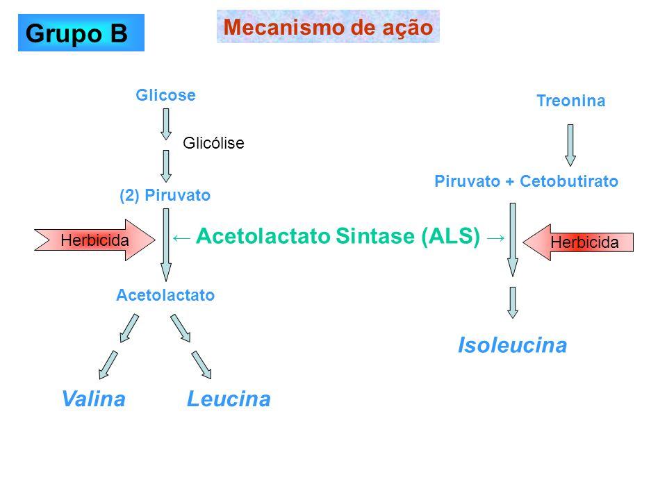 Glicose (2) Piruvato Acetolactato Valina Leucina Mecanismo de ação Herbicida Acetolactato Sintase (ALS) Glicólise Treonina Piruvato + Cetobutirato Iso