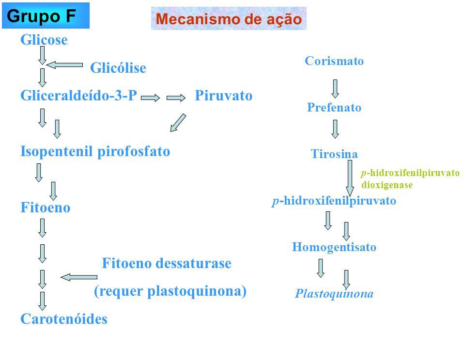 Glicose Glicólise Gliceraldeído-3-P Piruvato Isopentenil pirofosfato Fitoeno Fitoeno dessaturase (requer plastoquinona) Carotenóides Corismato Prefena
