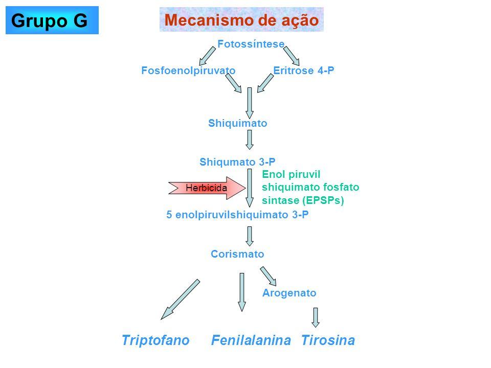 Fotossíntese Fosfoenolpiruvato Eritrose 4-P Shiquimato Shiqumato 3-P 5 enolpiruvilshiquimato 3-P Corismato Arogenato Triptofano Fenilalanina Tirosina