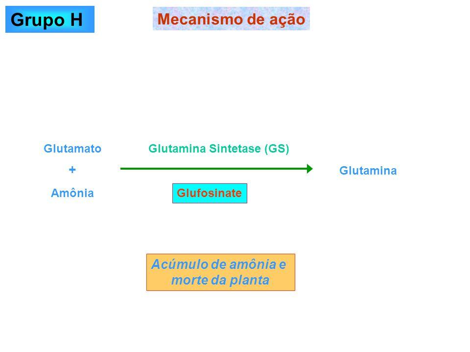 Glufosinate Mecanismo de ação Grupo H Glutamato Amônia Glutamina Glutamina Sintetase (GS) + Acúmulo de amônia e morte da planta