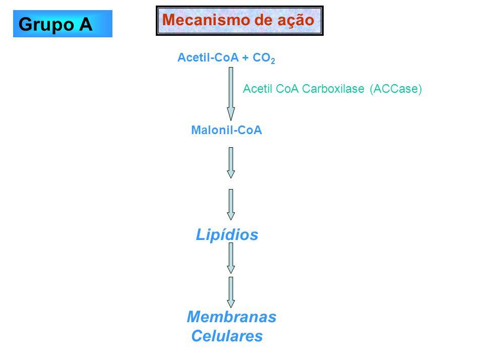 Acetil-CoA + CO 2 Malonil-CoA Lipídios Membranas Celulares Mecanismo de ação Acetil CoA Carboxilase (ACCase) Grupo A