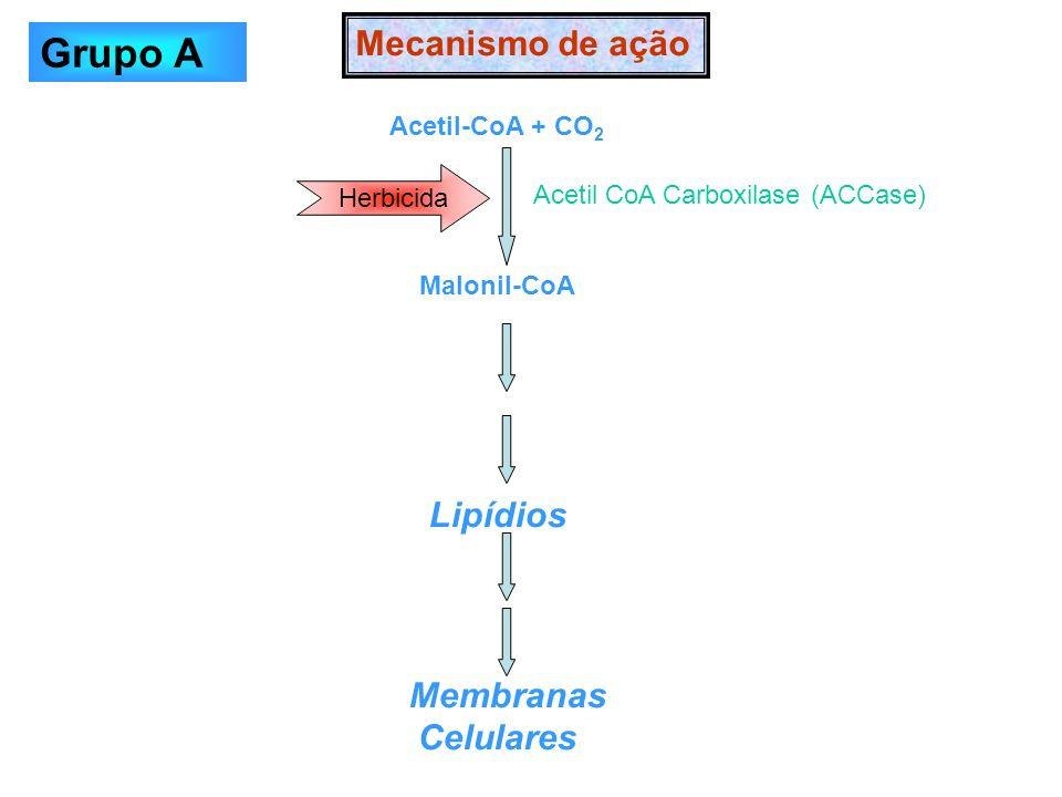 Acetil-CoA + CO 2 Malonil-CoA Lipídios Membranas Celulares Mecanismo de ação Herbicida Acetil CoA Carboxilase (ACCase) Grupo A
