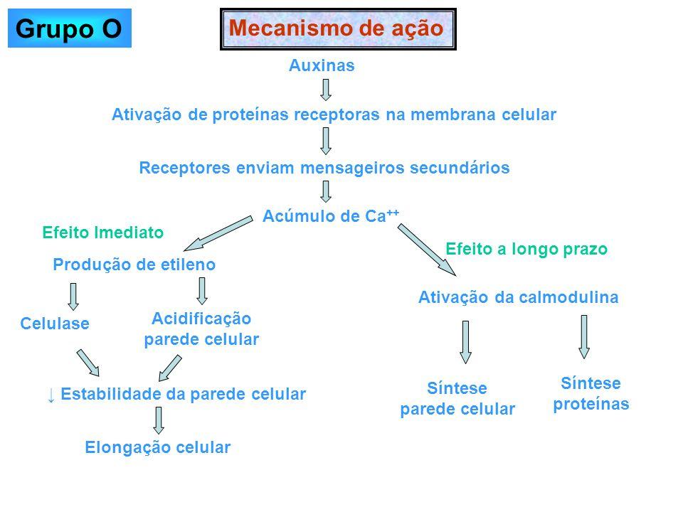 Mecanismo de ação Auxinas Ativação de proteínas receptoras na membrana celular Receptores enviam mensageiros secundários Acúmulo de Ca ++ Produção de