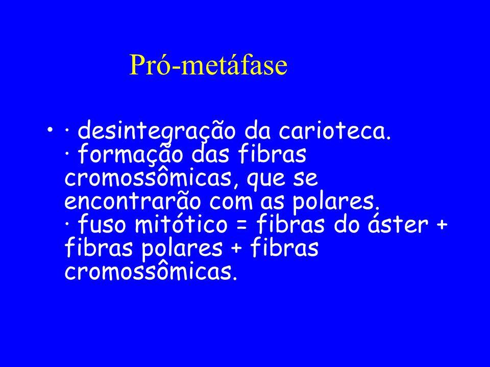 Pró-metáfase · desintegração da carioteca. · formação das fibras cromossômicas, que se encontrarão com as polares. · fuso mitótico = fibras do áster +