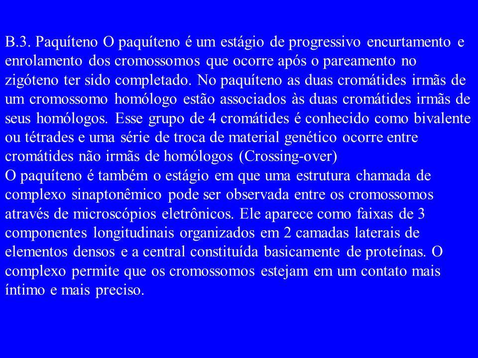 B.3. Paquíteno O paquíteno é um estágio de progressivo encurtamento e enrolamento dos cromossomos que ocorre após o pareamento no zigóteno ter sido co