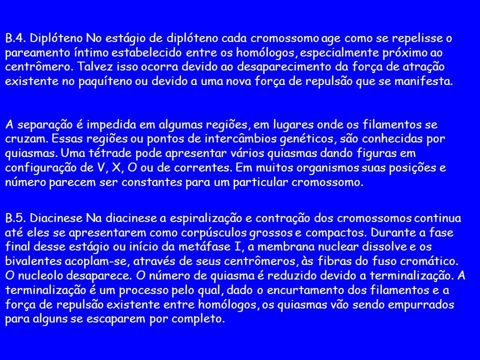 B.4. Diplóteno No estágio de diplóteno cada cromossomo age como se repelisse o pareamento íntimo estabelecido entre os homólogos, especialmente próxim