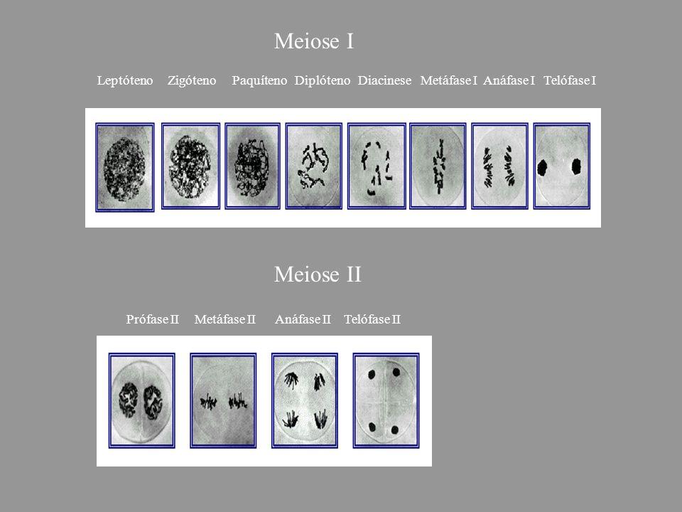 Leptóteno Zigóteno Paquíteno Diplóteno Diacinese Metáfase I Anáfase I Telófase I Meiose I Meiose II Prófase II Metáfase II Anáfase II Telófase II