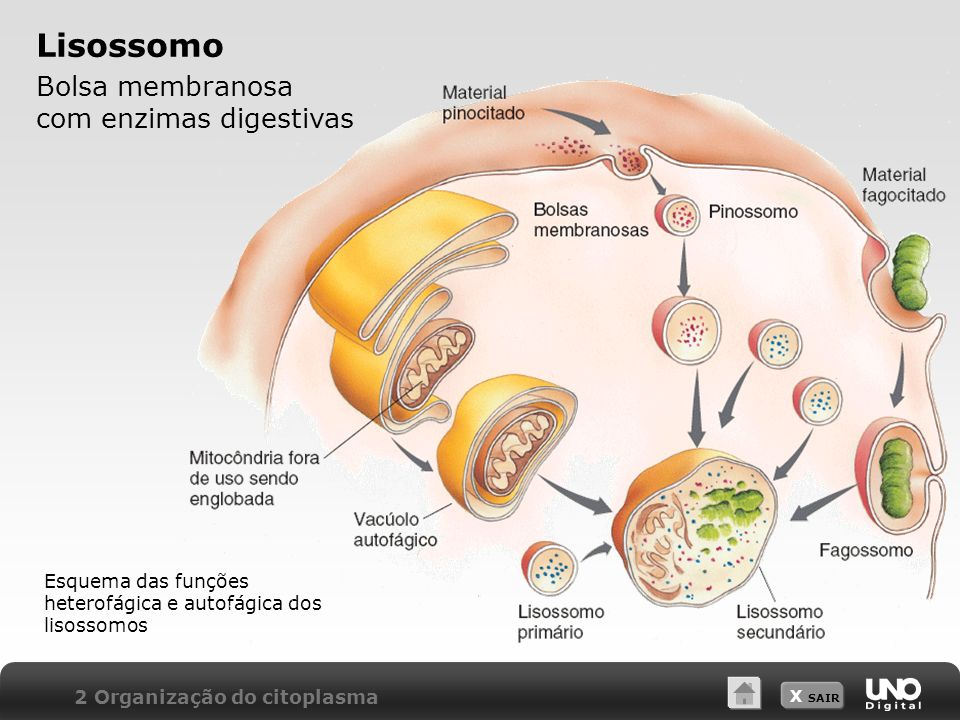 X SAIR Lisossomo Bolsa membranosa com enzimas digestivas 2 Organização do citoplasma Esquema das funções heterofágica e autofágica dos lisossomos