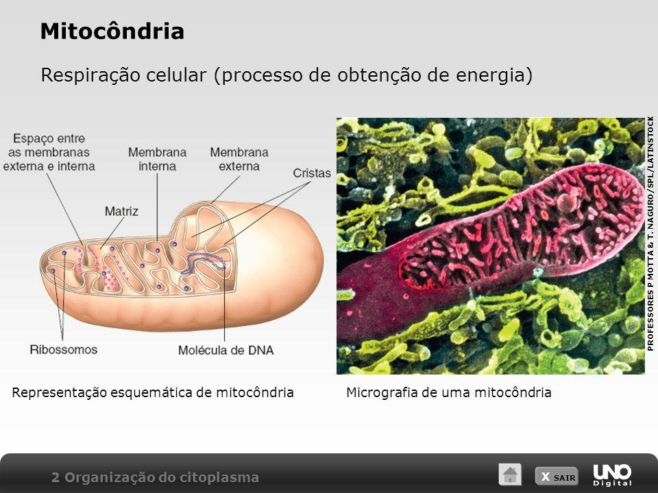 X SAIR Mitocôndria Respiração celular (processo de obtenção de energia) 2 Organização do citoplasma Representação esquemática de mitocôndriaMicrografi