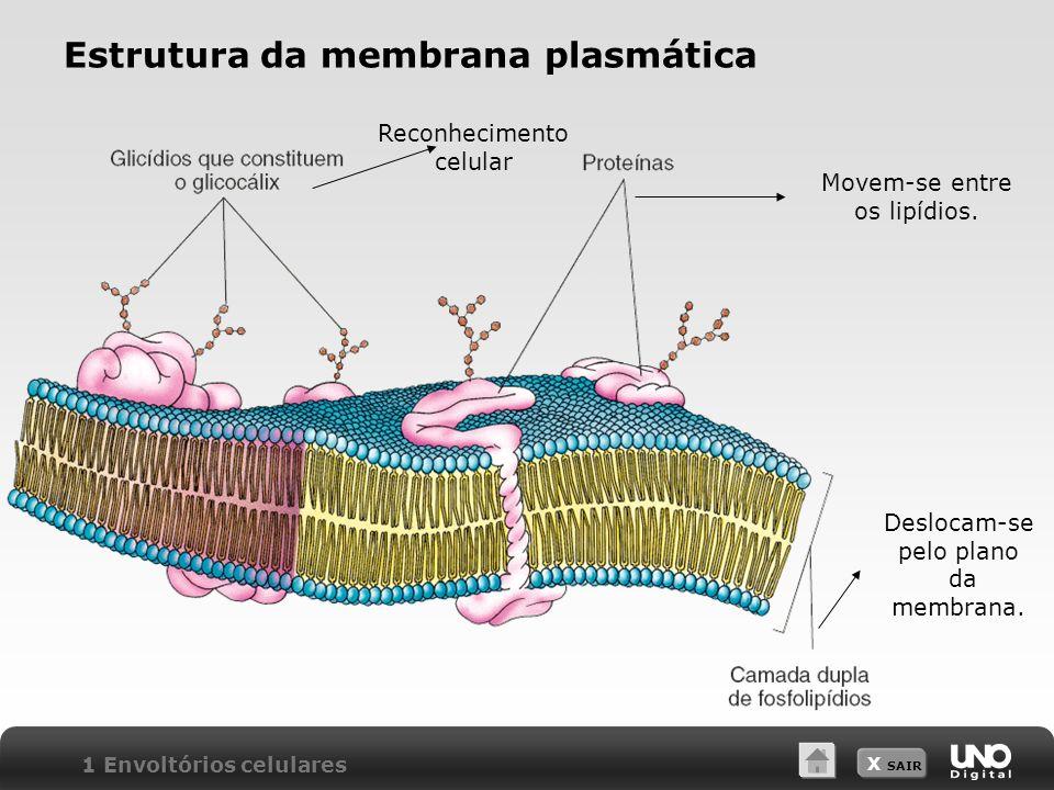 X SAIR Estrutura da membrana plasmática Reconhecimento celular Movem-se entre os lipídios. Deslocam-se pelo plano da membrana. 1 Envoltórios celulares