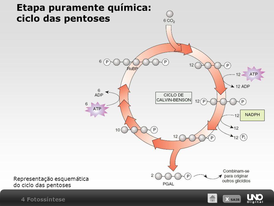 X SAIR 4 Fotossíntese Representação esquemática do ciclo das pentoses Etapa puramente química: ciclo das pentoses