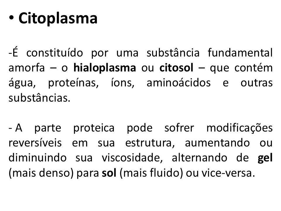 Citoplasma -É constituído por uma substância fundamental amorfa – o hialoplasma ou citosol – que contém água, proteínas, íons, aminoácidos e outras substâncias.