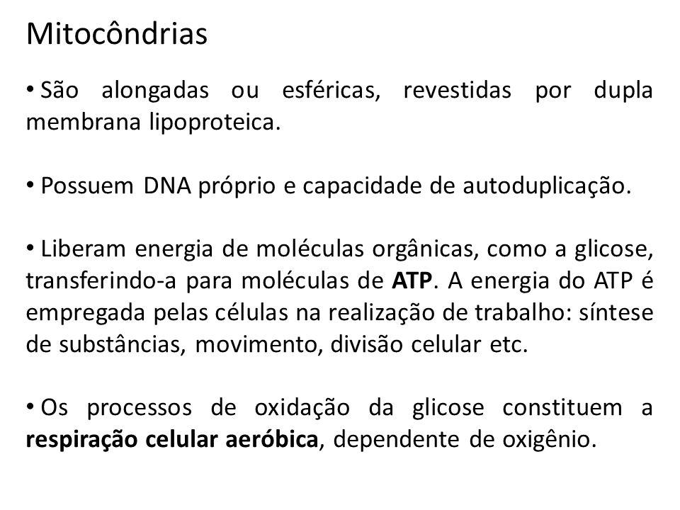 Mitocôndrias São alongadas ou esféricas, revestidas por dupla membrana lipoproteica.