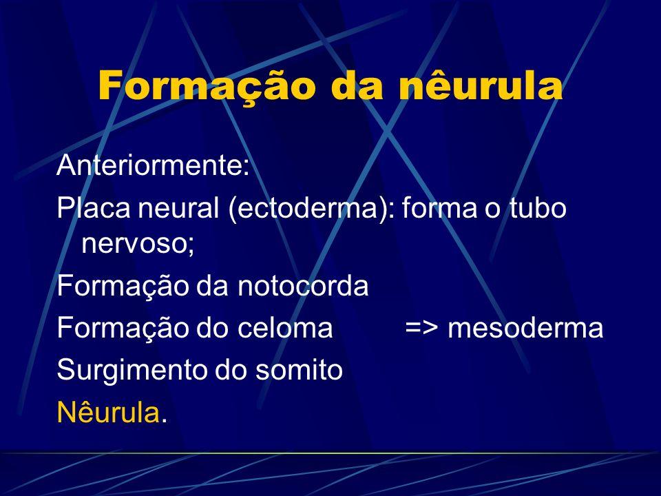 Formação da nêurula Anteriormente: Placa neural (ectoderma): forma o tubo nervoso; Formação da notocorda Formação do celoma => mesoderma Surgimento do somito Nêurula.