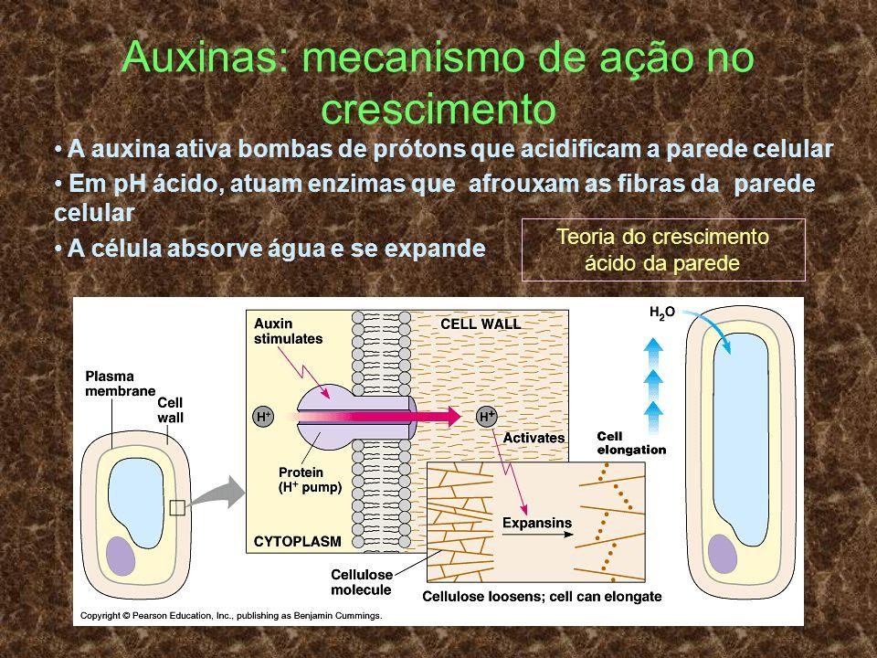 Auxinas: mecanismo de ação no crescimento A auxina ativa bombas de prótons que acidificam a parede celular Em pH ácido, atuam enzimas que afrouxam as