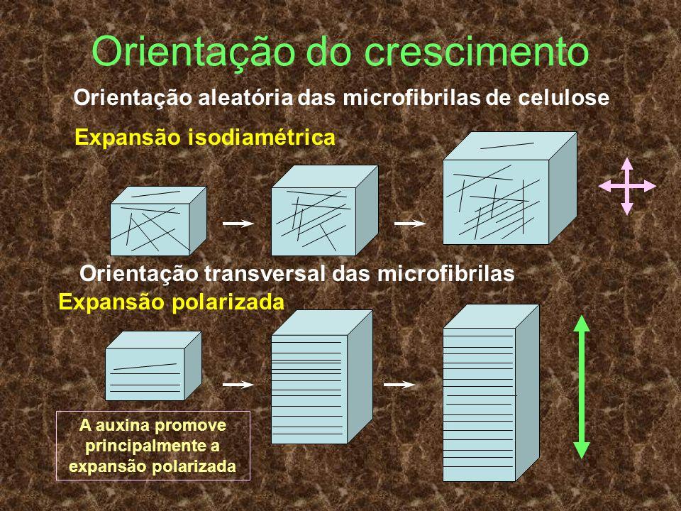 Orientação do crescimento Orientação aleatória das microfibrilas de celulose Orientação transversal das microfibrilas Expansão isodiamétrica Expansão