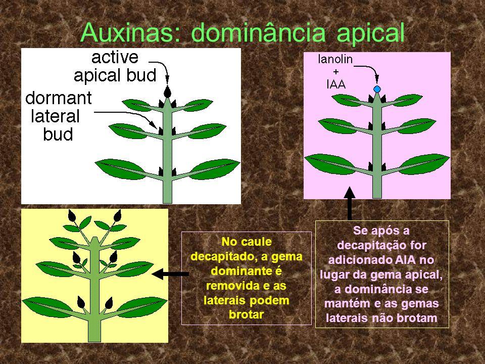 Auxinas: dominância apical No caule decapitado, a gema dominante é removida e as laterais podem brotar Se após a decapitação for adicionado AIA no lug