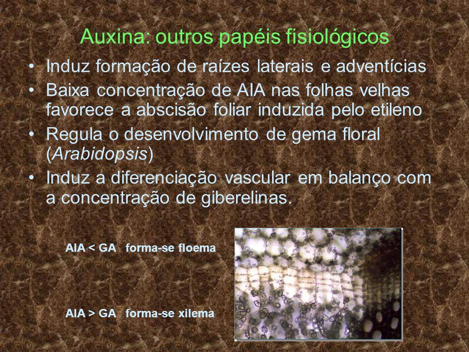 Auxina: outros papéis fisiológicos Induz formação de raízes laterais e adventícias Baixa concentração de AIA nas folhas velhas favorece a abscisão fol