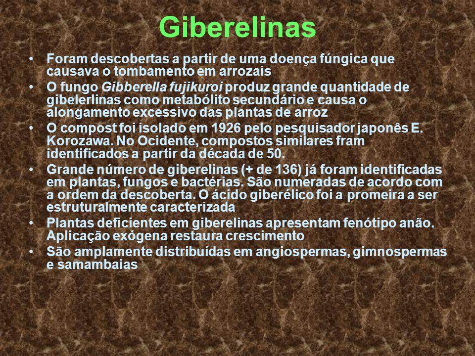 Giberelinas Foram descobertas a partir de uma doença fúngica que causava o tombamento em arrozais O fungo Gibberella fujikuroi produz grande quantidad