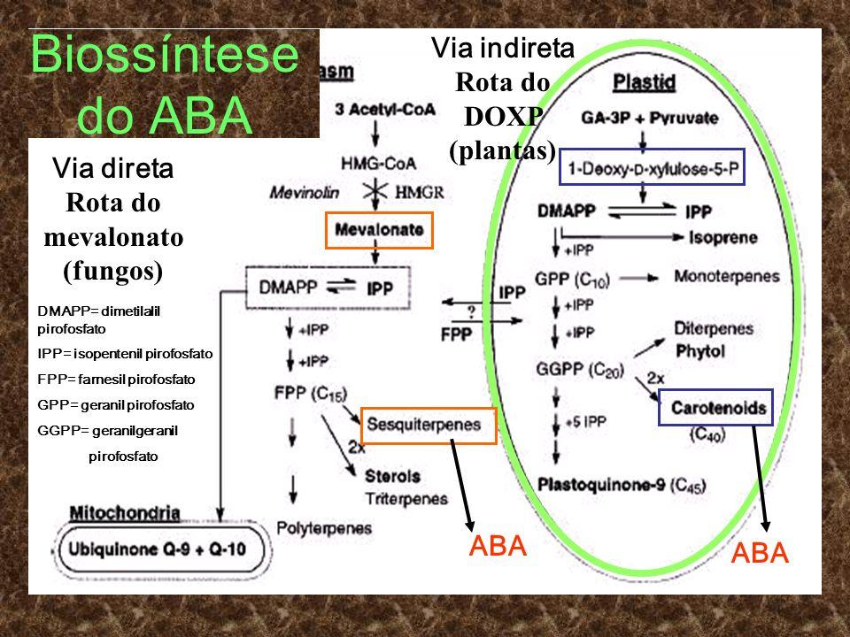 Biossíntese do ABA ABA Via direta Rota do mevalonato (fungos) DMAPP= dimetilalil pirofosfato IPP= isopentenil pirofosfato FPP= farnesil pirofosfato GP