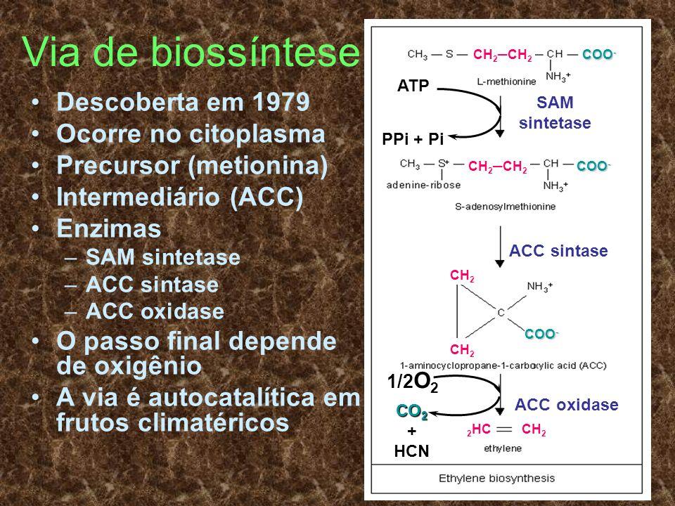 Via de biossíntese Descoberta em 1979 Ocorre no citoplasma Precursor (metionina) Intermediário (ACC) Enzimas –SAM sintetase –ACC sintase –ACC oxidase