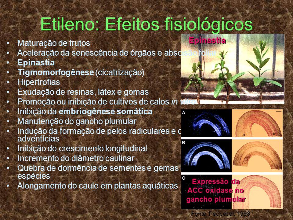 Etileno: Efeitos fisiológicos Maturação de frutos Aceleração da senescência de órgãos e abscisão foliar Epinastia Tigmomorfogênese (cicatrização) Hipe