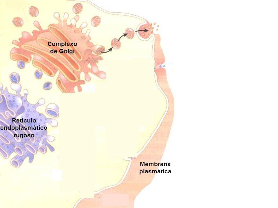 Complexo de Golgi Retículo endoplasmático rugoso Vesícula de secreção Possui as secreções produzidas no retículo endoplasmático e no complexo de Golgi Libertação do conteúdo da vesícula de secreção por exocitose Membrana plasmática