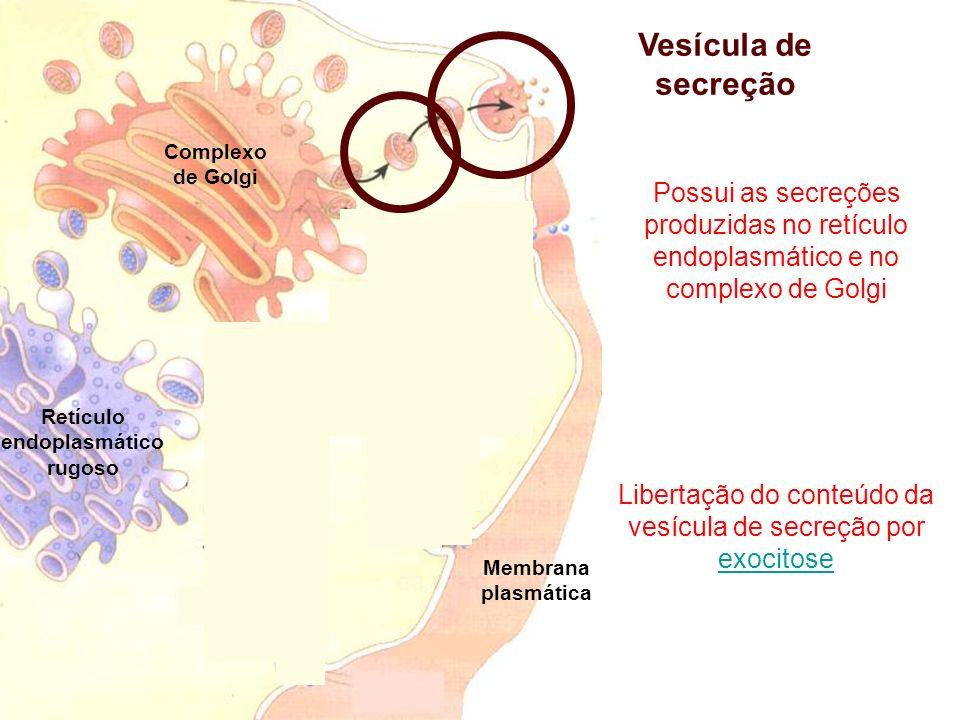 Complexo de Golgi Retículo endoplasmático rugoso Vesícula de secreção Possui as secreções produzidas no retículo endoplasmático e no complexo de Golgi