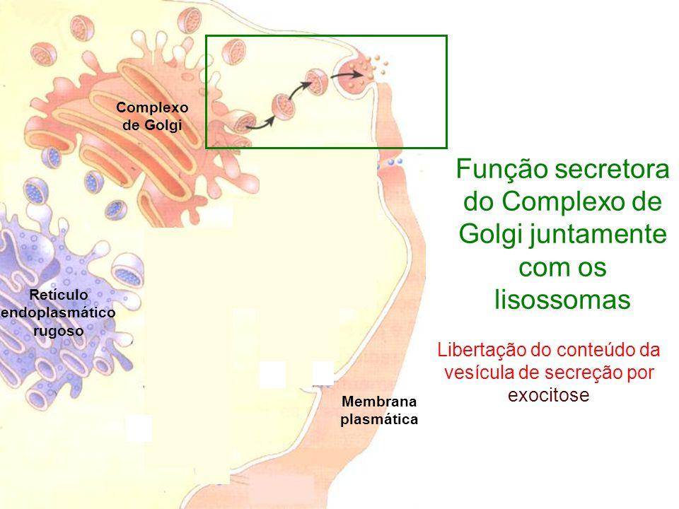 Complexo de Golgi Retículo endoplasmático rugoso Função secretora do Complexo de Golgi juntamente com os lisossomas Membrana plasmática Libertação do