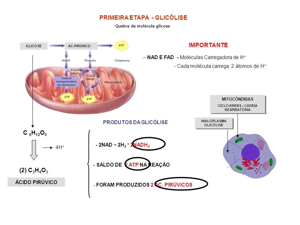 GLICOSEAC.PIRUVICO PRIMEIRA ETAPA - GLICÓLISE Quebra da molécula glicose C 6 H 12 O 6 (2) C 3 H 4 O 3 4H + – NAD E FAD - Moléculas Carregadora de H +