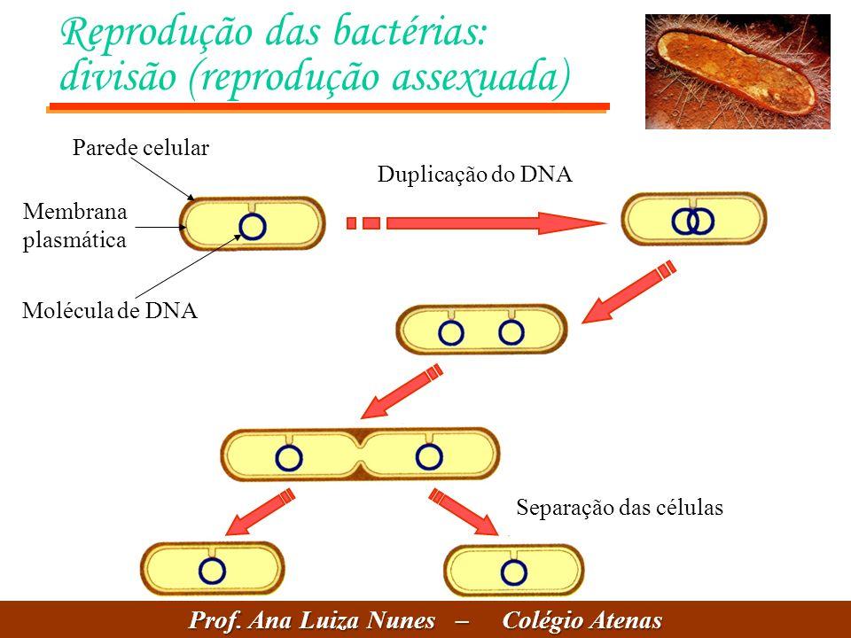 Reprodução das bactérias: divisão (reprodução assexuada) Duplicação do DNA Separação das células Parede celular Membrana plasmática Molécula de DNA Prof.