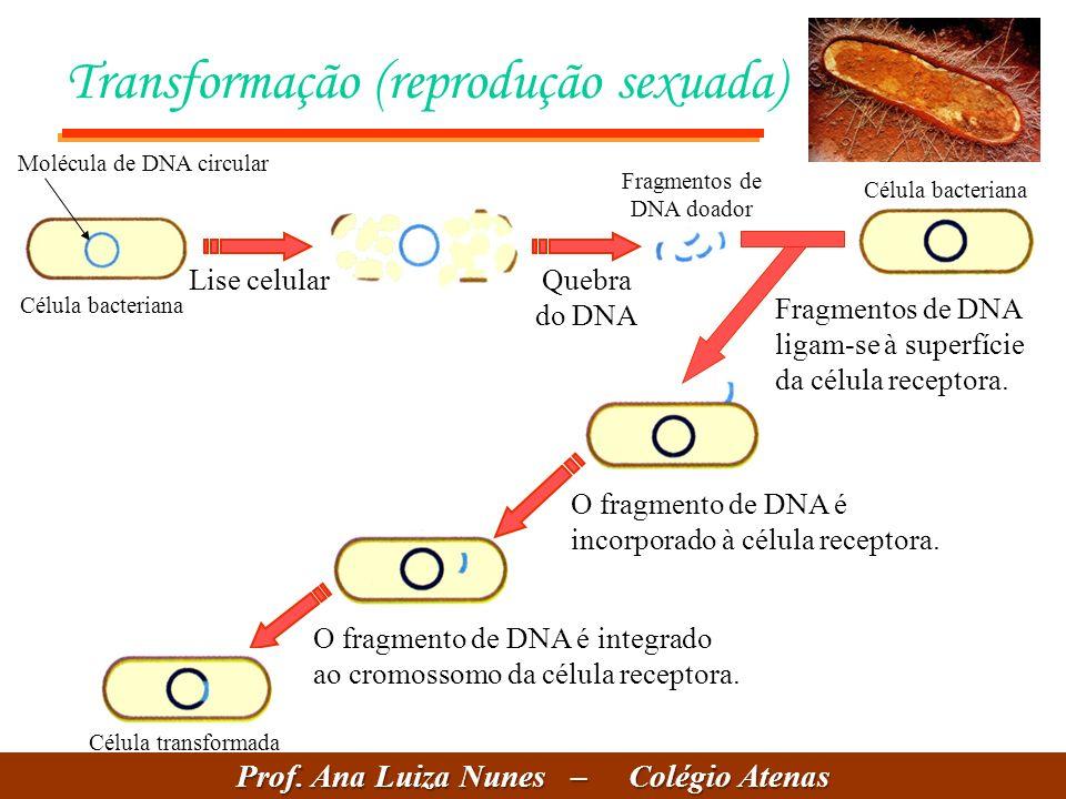 Transformação (reprodução sexuada) Célula bacteriana Lise celularQuebra do DNA Fragmentos de DNA doador Célula bacteriana Fragmentos de DNA ligam-se à