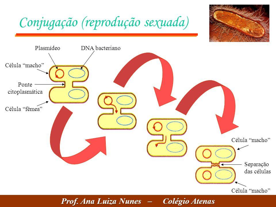 Conjugação (reprodução sexuada) PlasmídeoDNA bacteriano Ponte citoplasmática Célula fêmea Célula macho Separação das células Célula macho Prof. Ana Lu