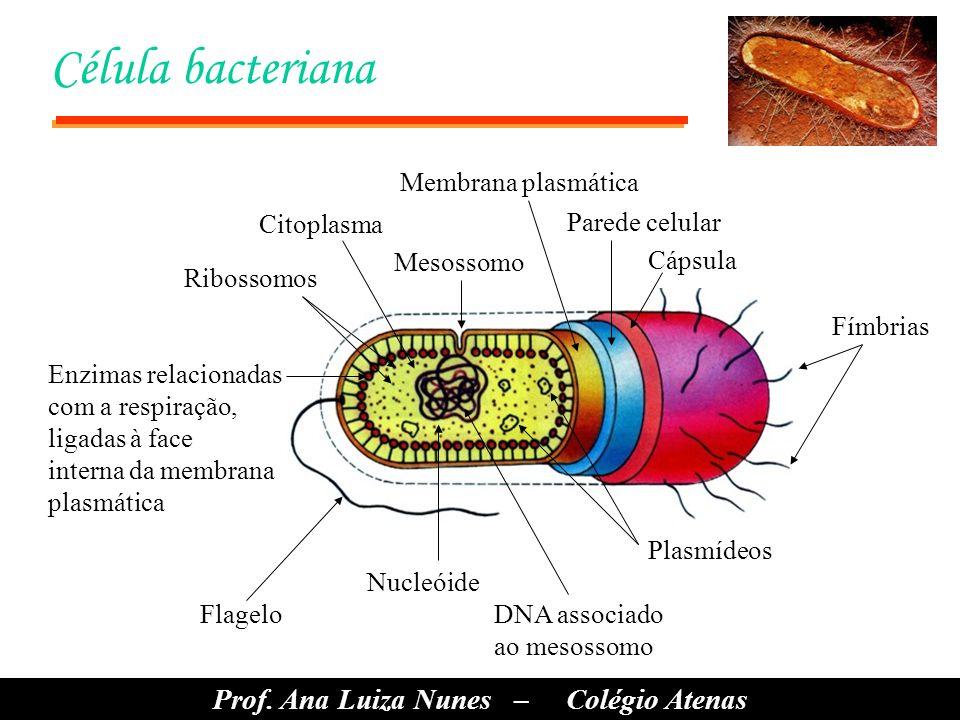 Célula bacteriana Fímbrias Cápsula Parede celular Plasmídeos DNA associado ao mesossomo Nucleóide Flagelo Enzimas relacionadas com a respiração, ligadas à face interna da membrana plasmática Mesossomo Citoplasma Ribossomos Membrana plasmática Prof.