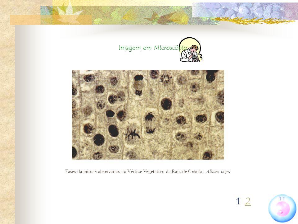 Imagem em Microscópio Fases da mitose observadas no Vértice Vegetativo da Raíz de Cebola - Allium cepa 1 22