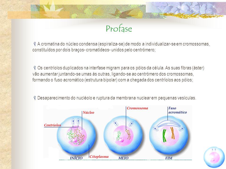 Profase A cromatina do núcleo condensa (espiraliza-se) de modo a individualizar-se em cromossomas, constituídos por dois braços- cromatídeos- unidos p