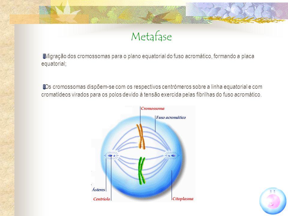 Metafase Migração dos cromossomas para o plano equatorial do fuso acromático, formando a placa equatorial; Os cromossomas dispõem-se com os respectivo